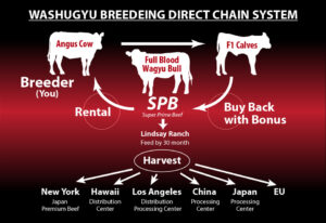 Washugyu Breeding Chain System
